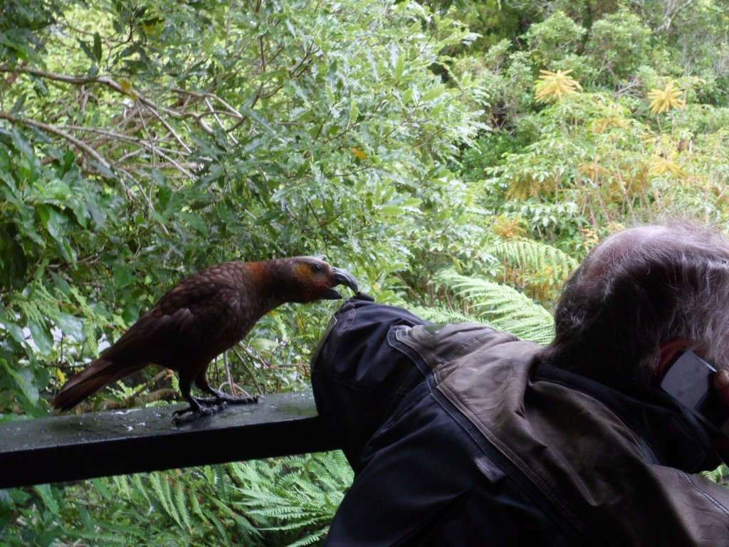 If there is any real danger in New Zealand, it is the Kea Bird, a large parrot that delights in tearing up any kind of textile it can find, such as my partner John's riding jacket. But the real danger is that they like to tear up bike seats!